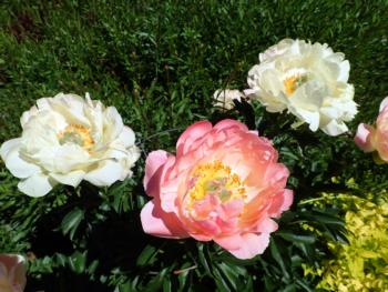 Peony, 'Coral Sunset'