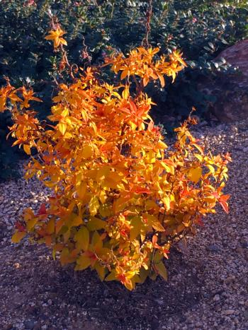 "Japanese Spirea, ""Double Play Candy Corn"""