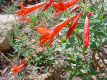 California Fuchsia (epilobium canum)