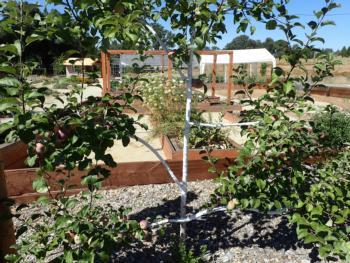 Espaliered apple tree, 'Liberty'