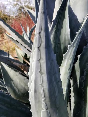 Agave americana, 'Century Plant'