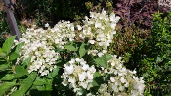 Hydrangea paniculata, 'Fire and Ice